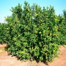 Zitrone Citrus & Life
