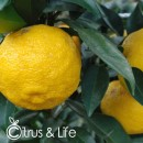Yellow Yuzu C&L