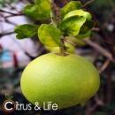Pummelo / Zamboa Citrus & Life
