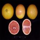 Pink Grapefruit ~ Citrus & Life