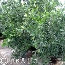Satsuma ~ Citrus & Life