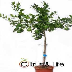 Satsuma Mandarin Tree