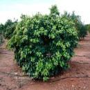 Plantón de Pomelo