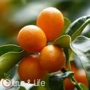 Kumquat sapling Citrus & Life
