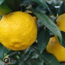 Yuzu amarillo