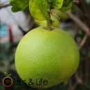 Pomelo / Zamboa Citrus & Life
