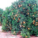 Orangen tree