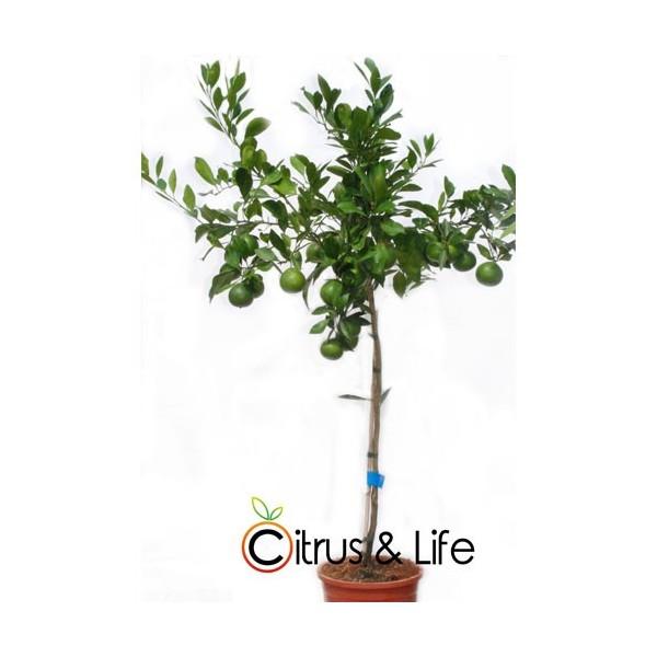 Mandarine-Baum Satsuma