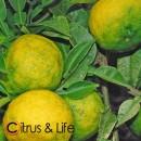 Yuzu verde-amarillo