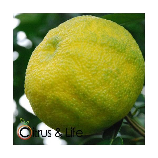 Yuzu verde-amarilo