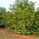 Lemon Tree