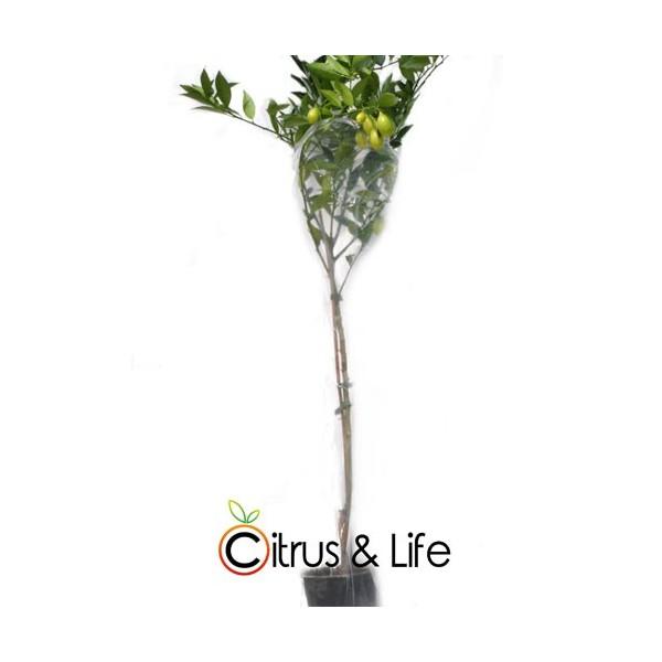 Plante de Kumquat Citrus & Life