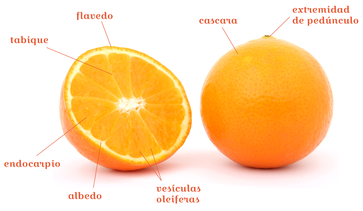 Las Partes De Los Frutos Cítricos Citrus And Life Exotic
