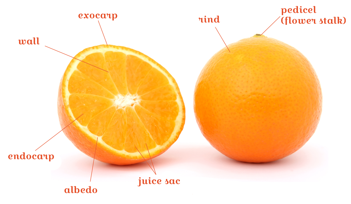 Parts Of A Citrus Fruit Citrus And Life Exotic And Sustainable
